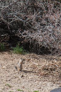 Antelope ground squirrel at camp