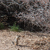 Antelope ground squirrel at camp