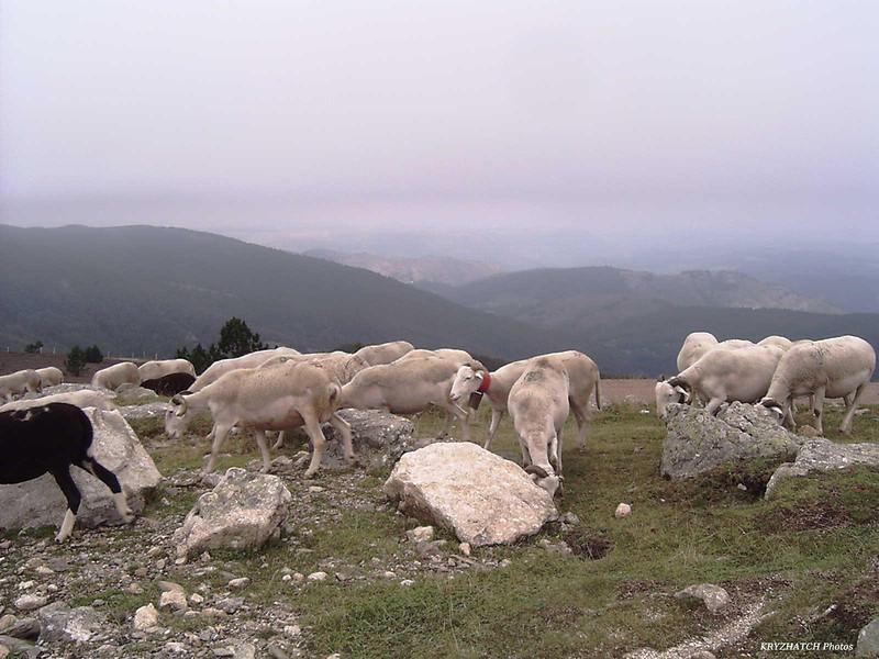Brebis au Mt AIGOUAL