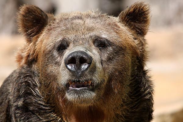 Grizzly Bear, San Antonio Zoo, November 2009