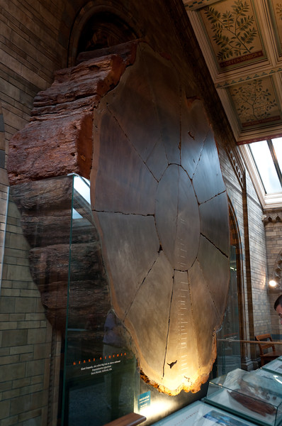 Giant Sequoia. Natural History Museum, London, England.