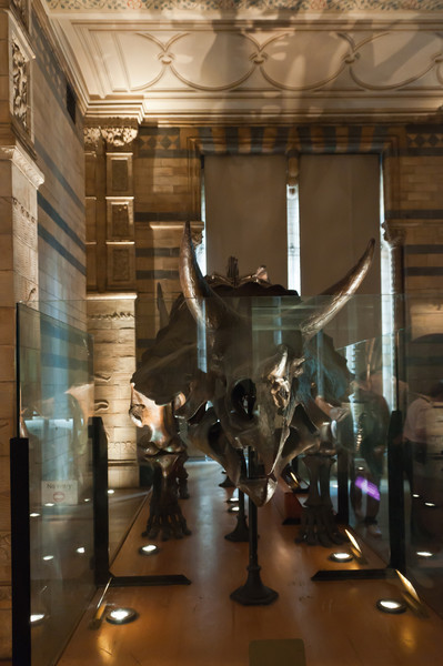 triceratops  + mirror effect. Natural History Museum, London, England.