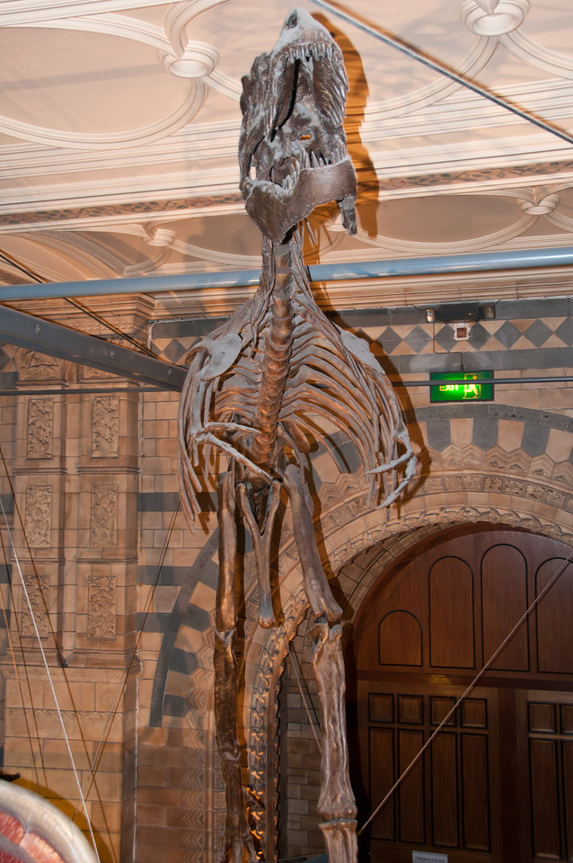 albertosaurus (?) skeleton. Natural History Museum, London, England.