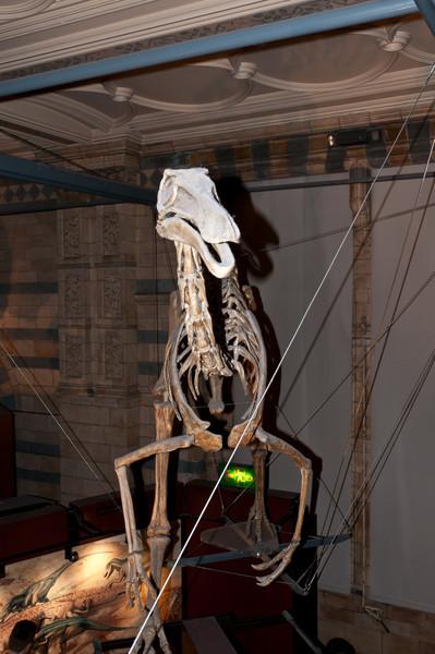 Gallimimus skeleton, Natural History Museum, London, England.