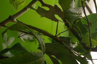 Insectarium - stick insect