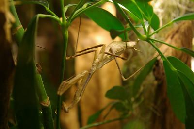 Insectarium - mantis