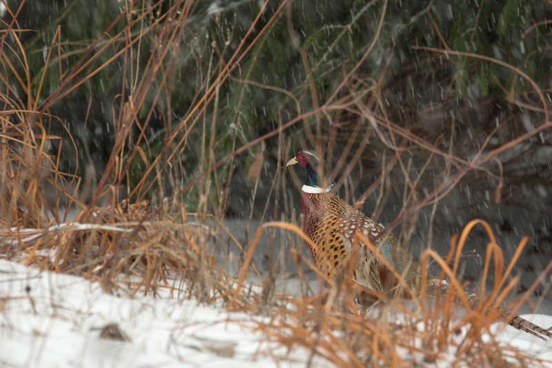 And my parents have at least one male ringneck pheasant.