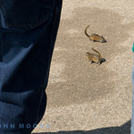 Chipmunks everywhere and a constant companions throughout the holidays - difficult not to run them over