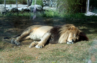 September 2012. No, this is not one of the evil cats that rule our lives. This is a sleepy lion we saw at the Franklin Park Zoo in Boston.