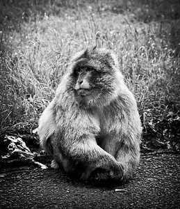Monkey (B&W)