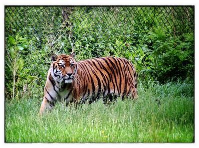 Tiger #1