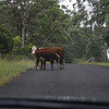 Mummy cow blocking the road feeding her calf.