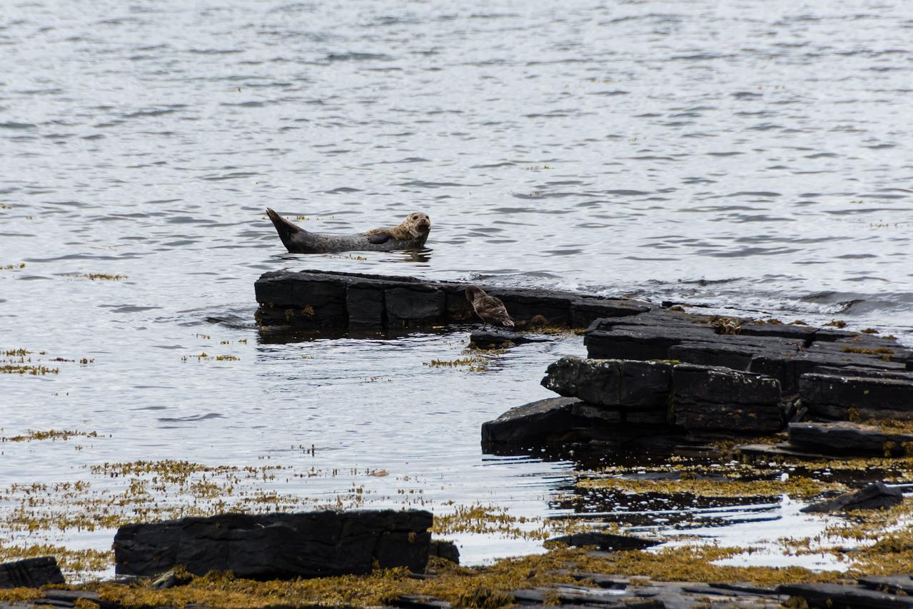 Seal ! Orkney, Scotland.
