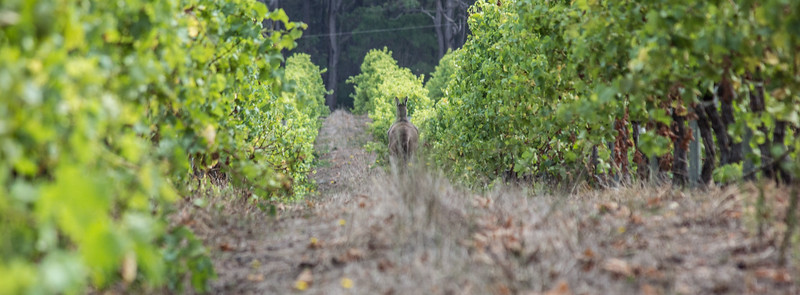 Kangaroo in the vines, Harmony Cottages, Nr Margaret River, Western Australia