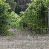 Kangaroo in the vines, Harmony Cottages, Nr Margaret River, Western Australia