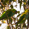 Western Rosella, Nr Pemberton, Western Australia