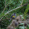 New Holland Honey Eater,