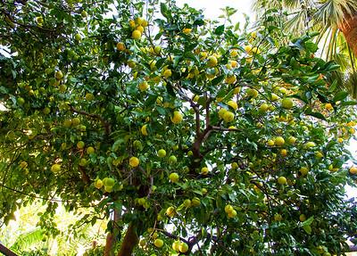 Hotel Palazzo Murat - Lemon tree