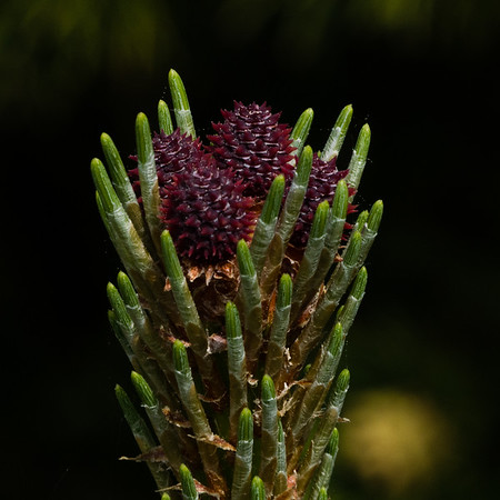 Fir Tree Flower