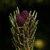 Fir Tree Flower