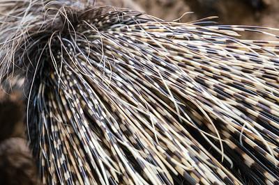 20160717 Porcupine Spines
