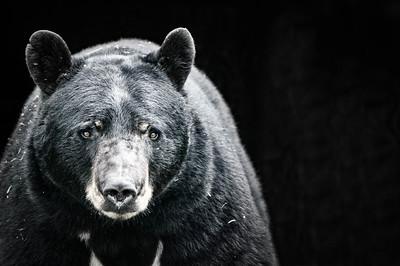 20160713 North American Black Bear
