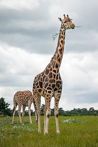 20160715 Rothschild Giraffe