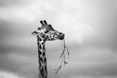 20160711 Woburn Safari