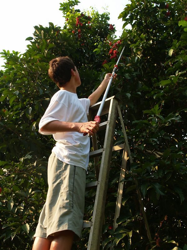 Fruit picking (Chris cutting branches of Rambutan)