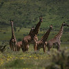 Giraffe between the Ngorongoro crater and Serengeti