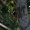 Supurb starling