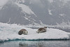 Antarctic Cruise - Day 4 - Neko Harbour Cruise - Yet Another Crabeater Seal 5