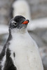 Antarctic Cruise - Day 5 - Port Lockroy - Yet More Gentoos 2