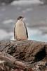Antarctic Cruise - Day 5 - Port Lockroy - Yet More Gentoos 1