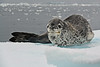 Antarctic Cruise - Day 4 - Niko Harbour Cruise - Yet More Crabeater Seals 09