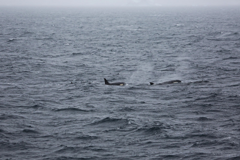Antarctic Cruise - Day 4 - Orca off the Bow in the Early Morning 02
