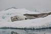 Antarctic Cruise - Day 4 - Neko Harbour Cruise - Yet Another Crabeater Seal 4