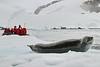 Antarctic Cruise - Day 4 - Niko Harbour Cruise - Yet More Crabeater Seals 12