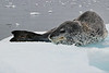 Antarctic Cruise - Day 4 - Niko Harbour Cruise - Yet More Crabeater Seals 06