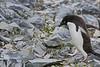 Antarctic Cruise - Day 6 - Yalour Islands - Landing - Adelie Penguin Walking Across the Rock Rubble 2