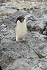 Antarctic Cruise - Day 6 - Yalour Islands - Landing - More Adelie Penguins 23