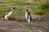 We had the chance to see a penguin fight too. At this stage they were making very loud noises.