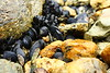 There are lots of mussels on the shore.
