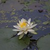 Water lily by the river dock