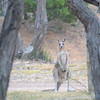 Our first sighting of a Kangeroo, it was bloody massive!!