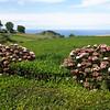 Gorreana tea crops in Azores