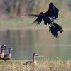 Darter landing amidst whistling ducks.