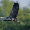In flight Grey Heron.