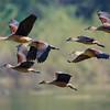 Lesser whistling ducks in flight.