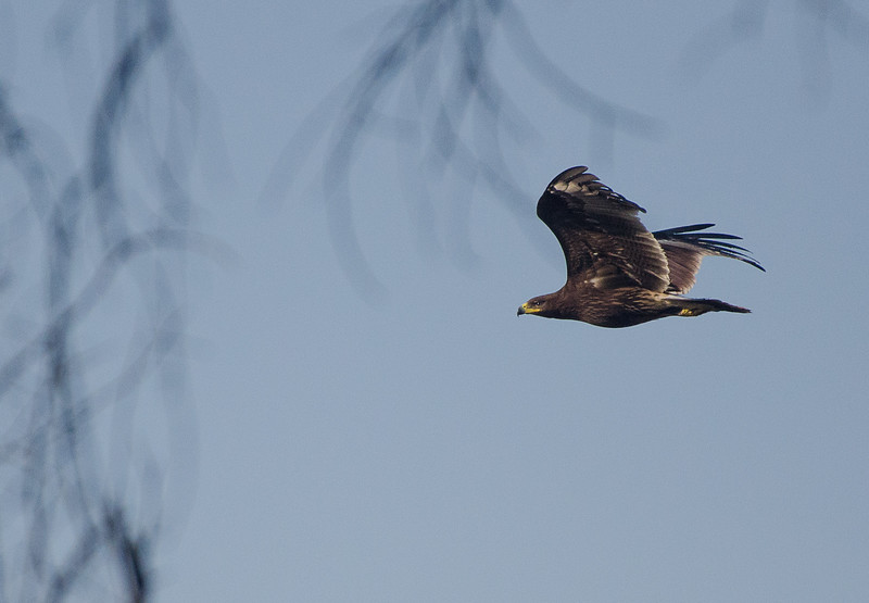 Indian Spotted Eagle on the Hunt!  An awesome predator.
